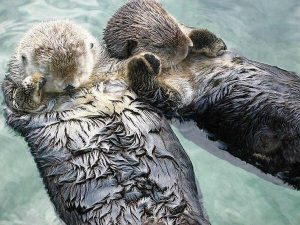 Two otters at play in the ocean